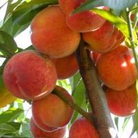 Саженцы персика колоновидного Медовый