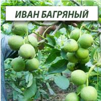 Саженцы грецкого ореха Иван Багряный (Трехлетний)