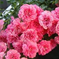 Почвопокровные розы сорта Книрпс