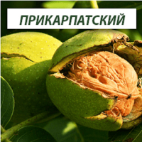 Саженцы грецкого ореха Прикарпатский (Двухлетний)