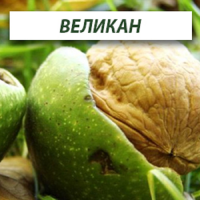 Саженцы грецкого ореха Великан (Трехлетний)