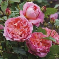 Английские розы сорта Боскобел