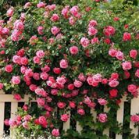 Роза плетистая розовая