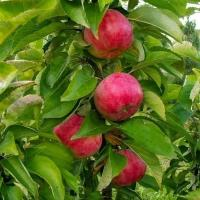 Саженцы яблони Арбат колоновидной