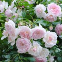 Почвопокровные розы сорта Лавли Мейланд
