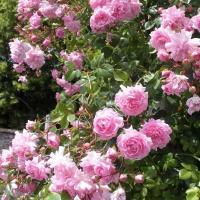 Плетистая роза Жемчужина