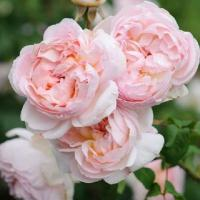 Роза плетистая Шарифа Асма