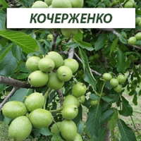 Саженцы грецкого ореха Кочерженко (Двухлетний)
