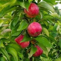 Саженцы колоновидной яблони Арбат