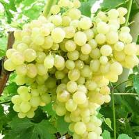 Саженцы винограда Киш Миш