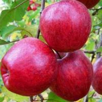 Саженцы яблони Моди (карликовые, М9)