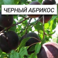 Саженцы абрикоса Черный Принц (черный абрикос)