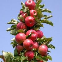 Саженцы колоновидной яблони Титания