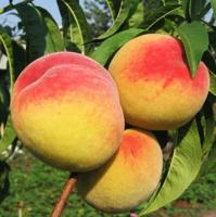 Саженцы колоновидного персика Балконелла