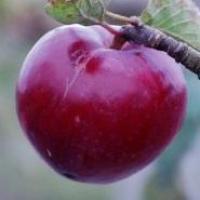 Саженцы яблони Блуди Плугман, красномякотный