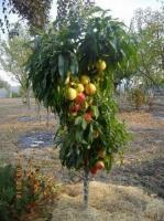 Саженцы персика колоновидного Роман