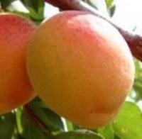 Саженцы абрикоса Бирикокколо Гигант
