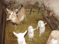 Тогенбурские козлята