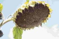 Семена подсолнечника Гусляр, простой, раннеспелый гибрид