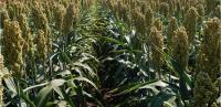 Суданская трава гибрид Косо