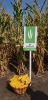Семена кукурузы Аншлаг