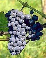 Саженцы винограда Леон Мийо