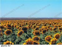 Увеличение урожайности подсолнечника в условиях засухи
