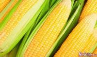 Семена кукурузы Франция новинки гибриды F1 ФАО 300-360