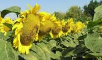 Семена подсолнечника ОБРИОН - классический сорт
