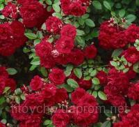 Почвопокровная роза Ред Каскад