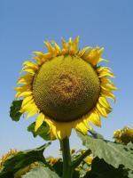 Насіння соняшнику, гібрид Бонд, іноземної селекції стійкий до гранстару