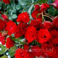 Почвопокровная роза Скарлет Мейяндекор