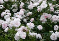 Почвопокровная роза Аспирин