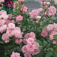 Почвопокровная роза Зе Фейри