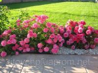 Почвопокровная роза Четыре сезона