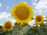 Семена подсолнечника гибрид Мачо, иностранной селекции, устойчивый к евро-Лайтнинг