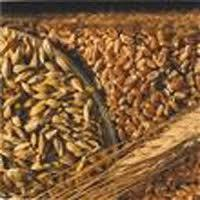 Семена ячменя ADDISON канадский трансгенный пивоварный сорт (элита)