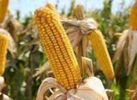 Семена кукурузы Солонянский - 298 св