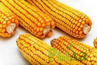 Семена кукурузы Днепровский