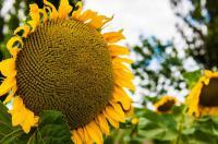 Семена подсолнечника 11 сортов и гибридов