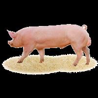 Племенные свиньи, хряки