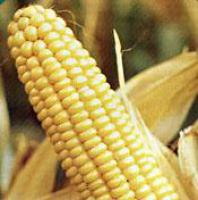 Кукурузный глютеновый корм