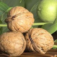 Саженцы грецкого ореха Изящный трех летние