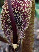 Сауроматум (леопардовая пальма) 3 летние клубни