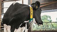 Датчик определение периода осеменения CowScout S