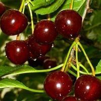 Саженцы вишни Ксения (конец Июня)