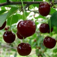 Саженцы вишни Лутовка (конец Июля)