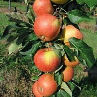Саженцы яблони Триумф (созревание-конец Августа) колоновидная