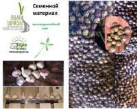 Семенной материал чеснока Любава Таврийская