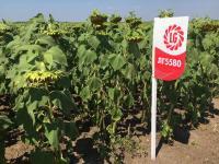 Семена подсолнуха Лимагрейн 5580